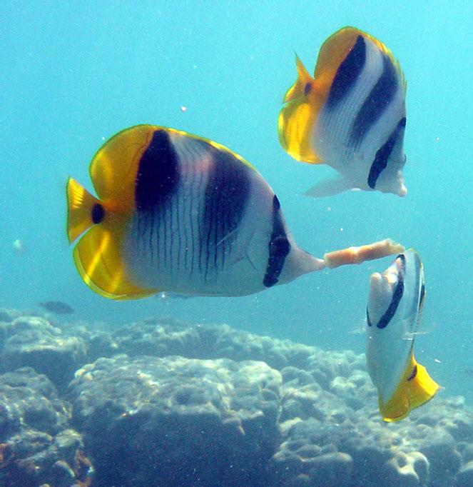 Huahine raiatea bora bora for Bora bora fish